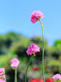 ピンクの花の写真・画像素材[1837795]