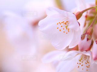 桜の花の写真・画像素材[1840285]