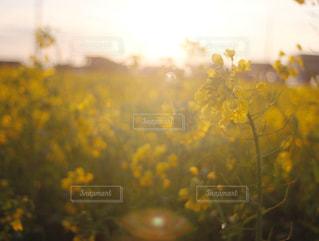 菜の花畑の写真・画像素材[1873023]