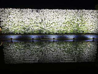 白藤のリフレクションの写真・画像素材[2103570]
