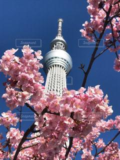 春を感じる東京スカイツリーの写真・画像素材[1032159]
