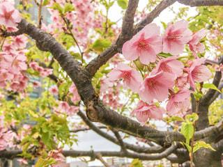 桜の花の写真・画像素材[1060771]