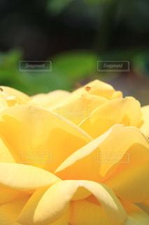 黄色バラの写真・画像素材[1037928]