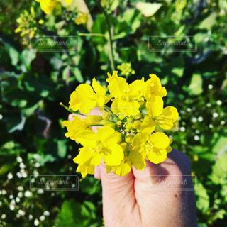 菜の花の写真・画像素材[1032337]