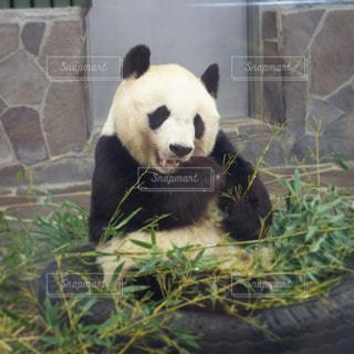 草の中に座っているパンダの写真・画像素材[1032385]