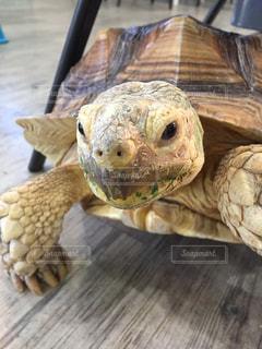 見つめる亀の写真・画像素材[1032587]