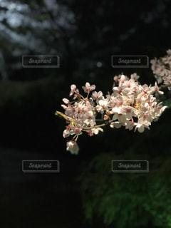 円山公園の夜桜の写真・画像素材[1103235]