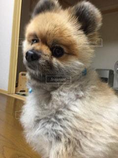 うちの犬の写真・画像素材[1032794]