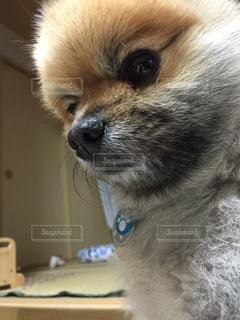 うちの犬の写真・画像素材[1032796]