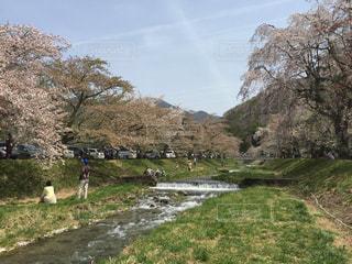 福島県猪苗代の観音寺川のさくらの写真・画像素材[1032802]