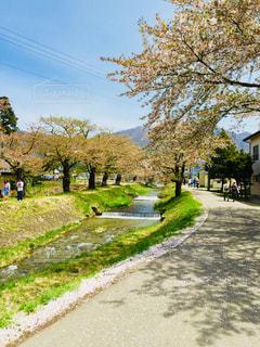 福島県猪苗代の観音寺川のさくらの写真・画像素材[1033058]