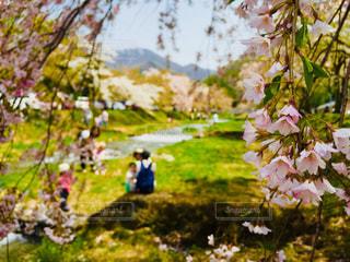 福島県猪苗代の観音寺川の桜の木の写真・画像素材[1033059]