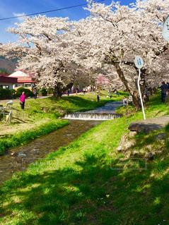福島県猪苗代の観音寺川のさくらの写真・画像素材[1037265]