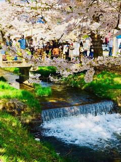 福島県猪苗代町の観音寺川のさくらの写真・画像素材[1037266]