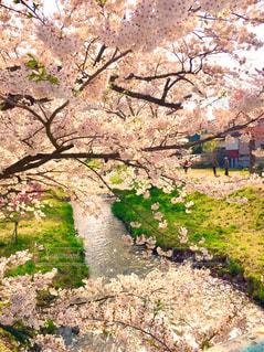 福島県猪苗代の観音寺川のさくらの写真・画像素材[1037362]