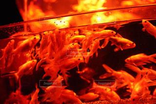 赤でライトアップされた金魚の写真・画像素材[1033118]