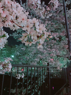 夜桜の写真・画像素材[1092364]