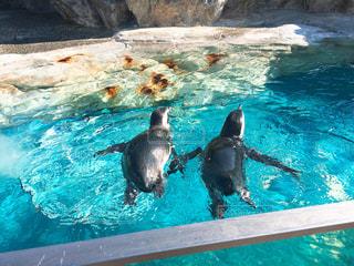 手を繋いで泳ぐペンギン - No.1033255