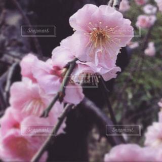梅の花の写真・画像素材[1033713]