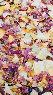 もみじとイチョウの絨毯の写真・画像素材[1033450]