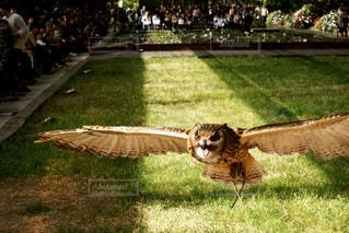 フクロウの写真・画像素材[1037864]