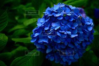 紫陽花の写真・画像素材[1061404]