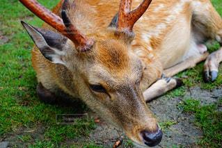 鹿の写真・画像素材[1065451]