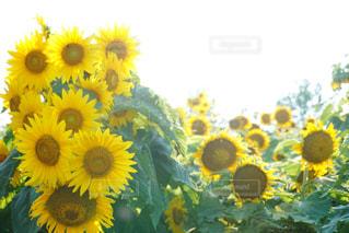向日葵の写真・画像素材[1071012]