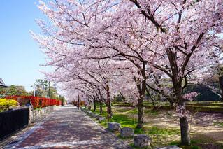 桜の写真・画像素材[1279521]