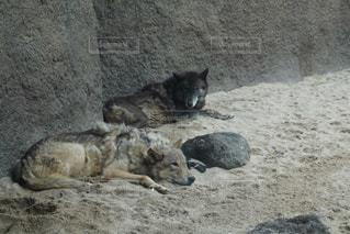 オオカミの写真・画像素材[1296326]