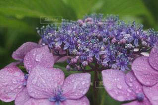紫陽花の写真・画像素材[1316113]
