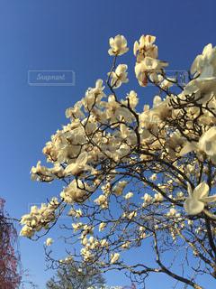 白木蓮の花の写真・画像素材[1071356]