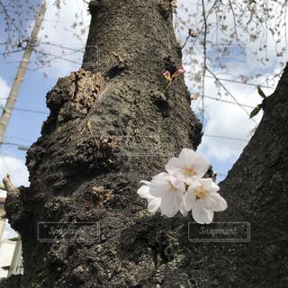 桜の幹から咲く花の写真・画像素材[1081266]