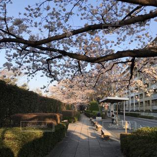 大きな桜の木とバス停の写真・画像素材[1086668]