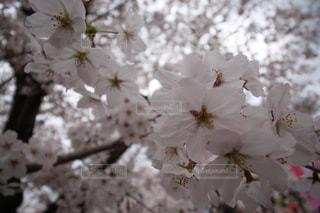 桜の写真・画像素材[1036954]