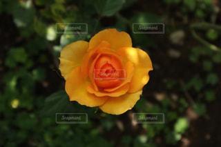近くの花のアップの写真・画像素材[1185597]