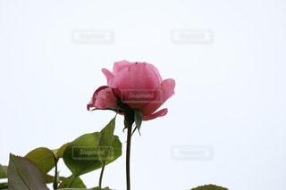 天空のバラの写真・画像素材[1251932]