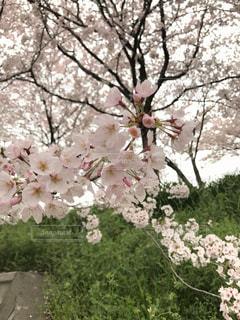 桜 - No.1038162