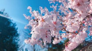 公園に咲いていたサクラ - No.1080254
