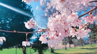 桜 - No.1080255