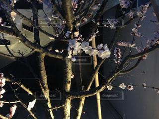 ぼっち桜の写真・画像素材[1048536]