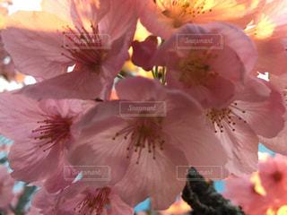豊洲桜との再会の写真・画像素材[1876626]