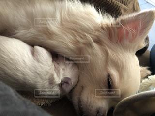 産まれて2週間目の子犬ちゃんがママ犬に甘えん坊の写真・画像素材[1034744]