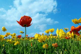 フィールド内の黄色の花の写真・画像素材[1035005]