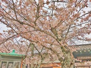 公園の桜の木の写真・画像素材[1035170]
