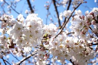 サクラ咲くの写真・画像素材[1079925]