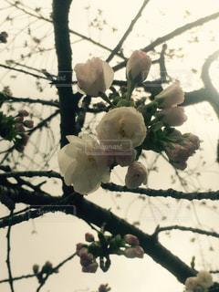 桜の写真・画像素材[1035445]