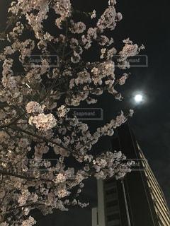 夜桜の写真・画像素材[1035450]