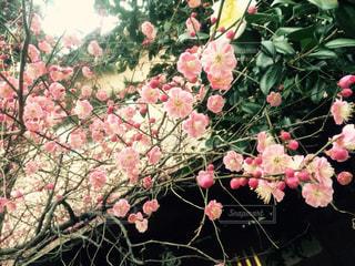 梅の写真・画像素材[1036080]