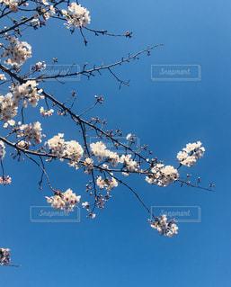 桜の写真・画像素材[2113808]